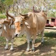 Oxen in CubFarm — Stock Photo #6733400