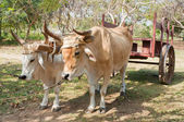 Oxen in Cuban Farm — Stock Photo