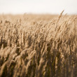 Dry Grass — Stock Photo #5664263