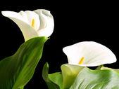Calla liles — Stockfoto