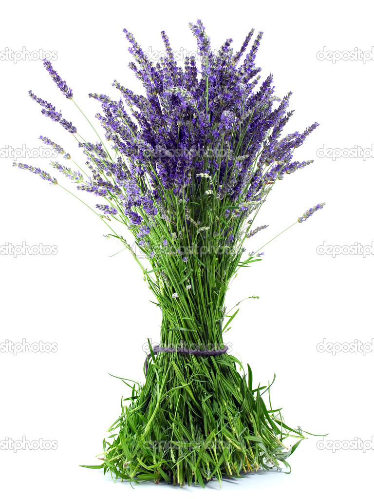A bouquet of fresh lavender flowers isolated on white background.  Stock Photo #5739136