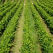 Stockfoto: Vineyard