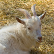 White horny goat — Stock Photo