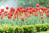 Red tulips — Stockfoto