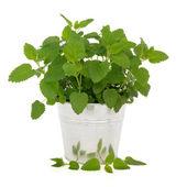 Lemon Balm Herb — Stock Photo