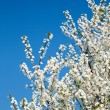 Bunches of cherry blossom. — Stock Photo