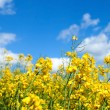 Stock Photo: Rape seed field in summer