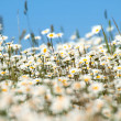 White flowers field — Stock Photo