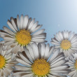 Daisies in sunlight — Stock Photo