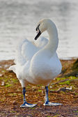 Mute swan-cygnus olor — Stock Photo