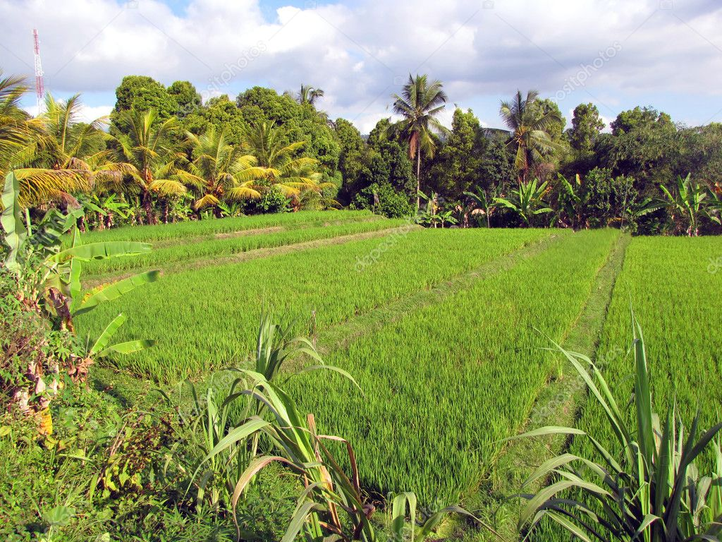 Green rice fields in northern Bali, Indonesia — Stock Photo #6730796