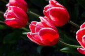 Colored tulip — Stock Photo