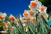 Colored narcissus — Stock Photo