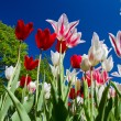 Tulip park — Stock Photo
