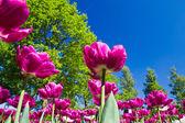 Tulip park — Stockfoto