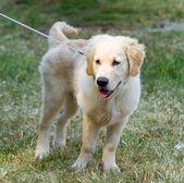 Labrador — Zdjęcie stockowe