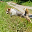 Jumping dog — Stock Photo