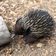 Echidna - Stock Photo