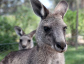 Close up of a kangaroo — Stock Photo