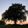 Tree at sunset — Stock Photo