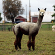 Groomed alpaca — Stock Photo #5967571