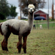 Groomed alpaca - Stock Photo