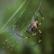 Golden orb spider — Stock Photo #5978594