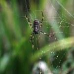 Golden orb spider — Stock Photo #5978624