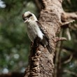 Kookaburra — Stock Photo #5978668