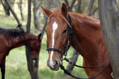 Australian Horse in the Outback — Stock Photo