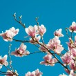 Magnolia - Stock Photo