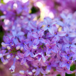 Blooming Lilac in spring — Stock Photo