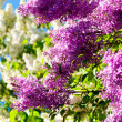 Royalty-Free Stock Photo: Blooming Lilac in spring