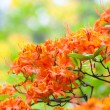 Orange Rhododendron — Stock Photo