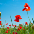 Wild Poppy Flowers — Stockfoto