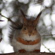 Red squirrel — Photo