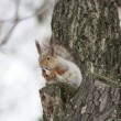 Red squirrel — Foto Stock
