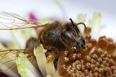 Macro bee honeybee — Stock Photo