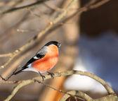 Bullfinch — Stock Photo