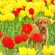 Stock Photo: Puppy Labrador