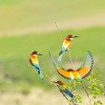 European bee-eater — Stock Photo