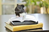 Guinea pig reading — Stock Photo