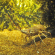 Stock Photo: Spiny Lobster