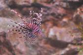Lion fish — Stock Photo