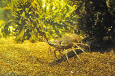 Spiny Lobster — Foto Stock