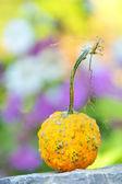 Harvested pumpkin — Stock Photo