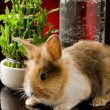 Dwarf Rabbit with Lion's head on glass table - Foto Stock
