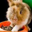 Dwarf Rabbit with Lion's head with his food bowl - Stock Photo