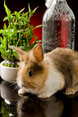 Dwarf Rabbit with Lion's head on glass table — Stock Photo