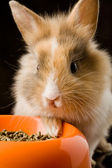 Dwarf Rabbit with Lion's head with his food bowl — Stock Photo